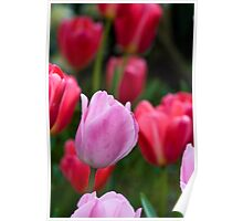 Rosalie and Ninja Tulips Poster