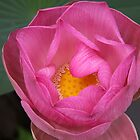 Lusciousness Of The Lotus Blossom by coffeebean