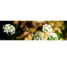 Tidbinbilla butterfly Photographic Print