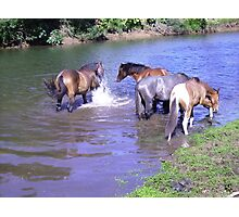 Brumbies Cooling off in the River. Photographic Print