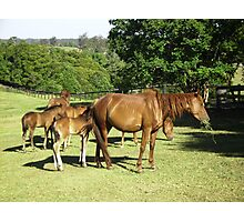 Brumby Mares & Their Foals. Photographic Print