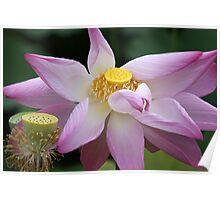 Lotus So Lovely Poster