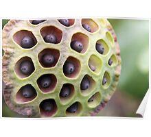 Lotus Seed Art Poster