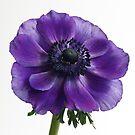 Blue Anemone by OldaSimek