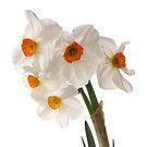 Narcissus on white by OldaSimek