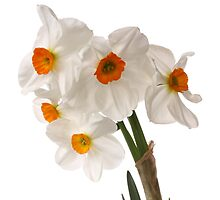 Narcissus on white by OldaSimek