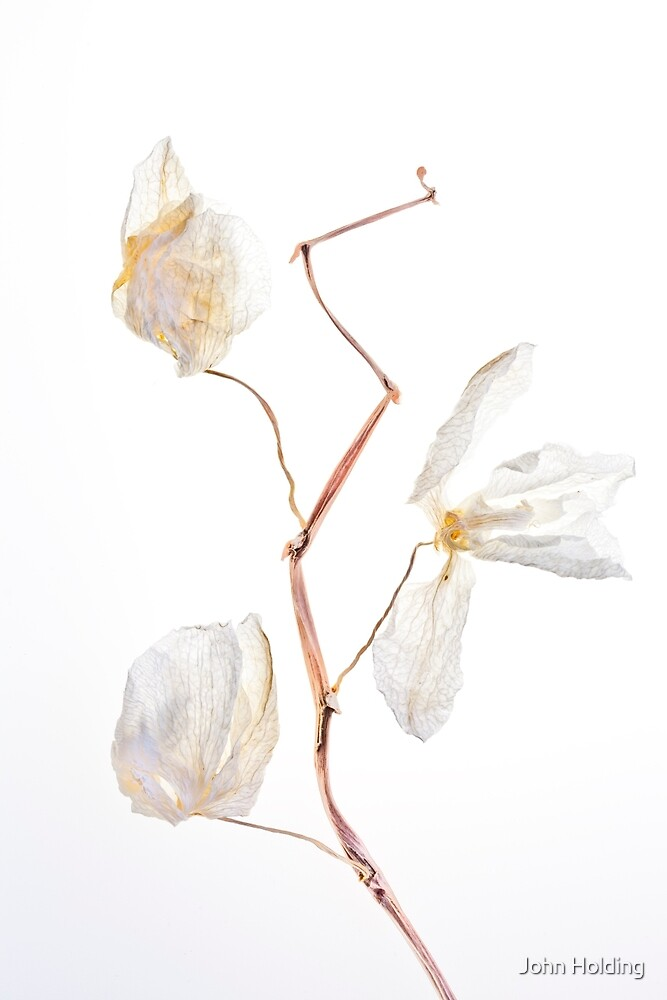 The desiccated orchids by John Holding