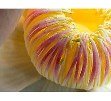Magnificent Magnolia (close up) - Darwin Botanical Gardens, Northern Territory Photographic Print