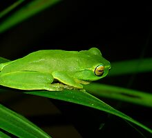 Green tree frog - Far Northern NSW by Snappy1