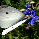 Male Cabbage White Butterfly --  Pieris rapae by Chuck Gardner
