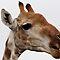 Giraffe - June 2011 Avatar