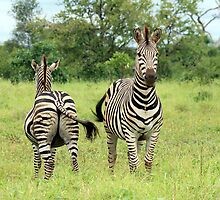 Two Plains Zebra by Sassie Otto