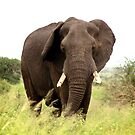 African Elephant by Sassie Otto