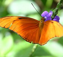 Orange Julia Butterfly by Alyce Taylor