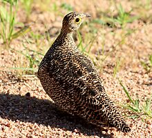 Sandgrouse by Sassie Otto