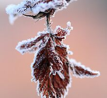Frosty Morning by Debbie  Roberts