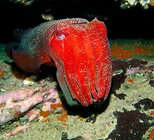 Giant Cuttlefish by Jason Ruth