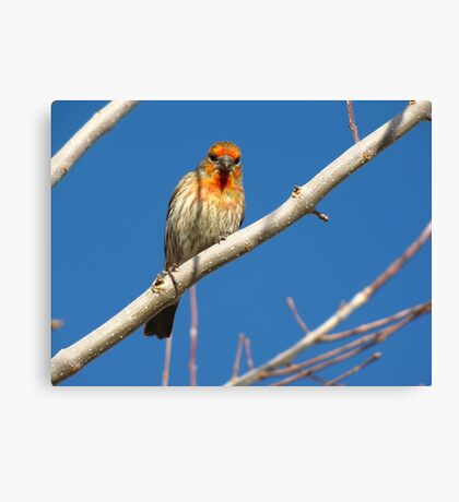 House Finch (Orange Variant) ~ Male Canvas Print