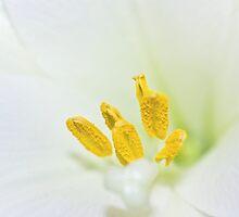 Yellow & White by lightwanderer
