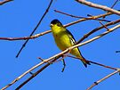 Lesser Goldfinch ~ Male by Kimberly Chadwick