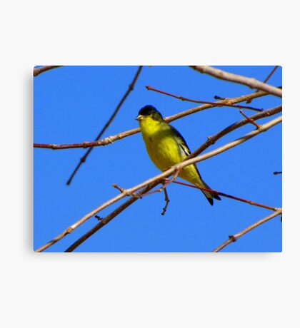 Lesser Goldfinch ~ Male Canvas Print