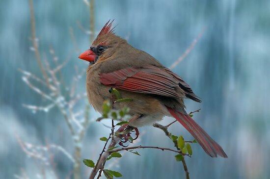 Little Lady Cardinal  by Bonnie T.  Barry