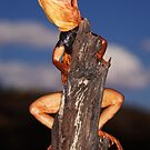 Pilbara Ringtail Dragon by Mark Shean