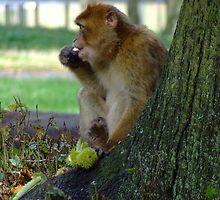 Monkey @ Woburn Safari Park by djhopkins