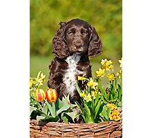 Spaniel puppy amidst spring flowers Photographic Print