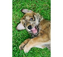 - Giggle - Berger Picard puppy Photographic Print