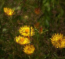 Helichrysums through the grass by rolpa