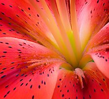 The inside of a Lily by Hans Kawitzki