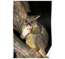 Brush Tailed Possum Poster