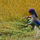 Harvest time by Konstantinos Arvanitopoulos