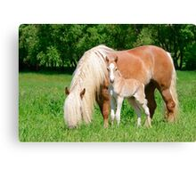 Haflinger, mom and foal Canvas Print