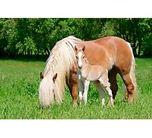 Haflinger, mom and foal Photographic Print