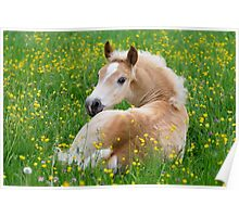 Haflinger foal resting amidst buttercup flowers Poster