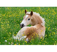 Haflinger foal resting amidst buttercup flowers Photographic Print