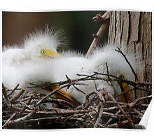Juvi Egrets Poster
