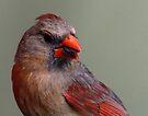 Northern Cardinal by Dennis Cheeseman