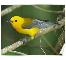 Prothontary Warbler Poster