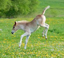 Haflinger foal frolicking by Katho Menden