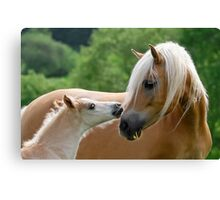 Haflinger mare and foal cuddling Canvas Print