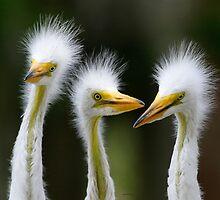 Juvenile Egrets by Dennis Cheeseman