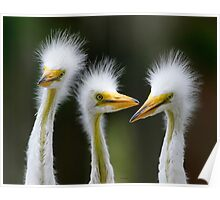 Juvenile Egrets Poster