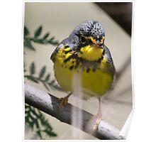 canada warbler Poster