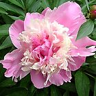 Pink peony.. by Ana Belaj