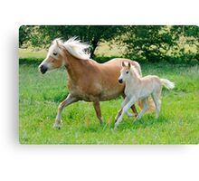 Haflinger mare with foal running  Canvas Print