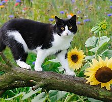 Tuxedo cat and sunflowers by Katho Menden