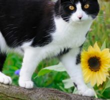 Tuxedo cat and sunflowers Sticker